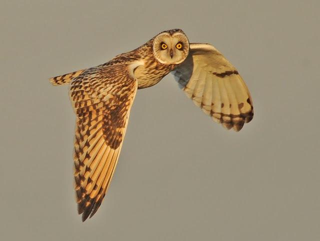 Owl_20275