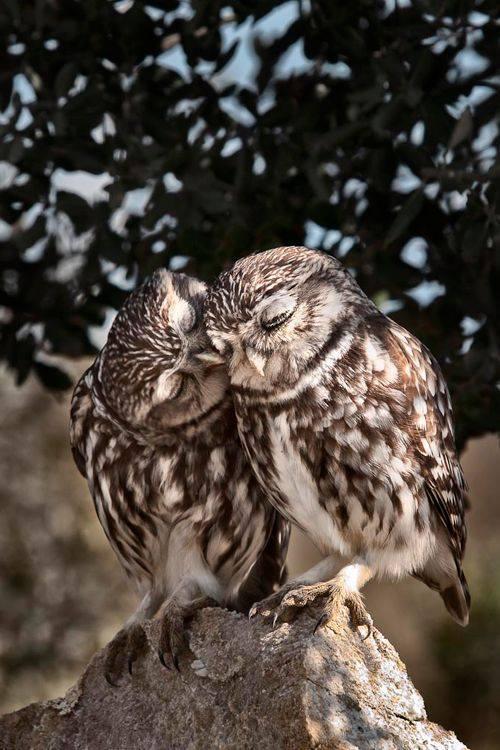 Owl_20295